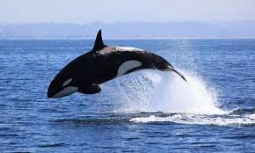 """"""" شاهد بالفيديو """" .. الحوت القاتل """"اوركا"""" يظهر في سواحل عدنلأول مرة !"""