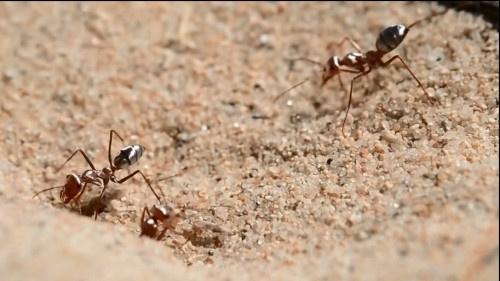 أين تعيش أسرع نملة في العالم؟